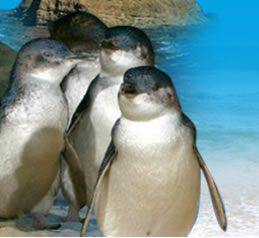 Phillip Island Penguin Parade - St Kilda Accommodation