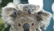 Billabong Koala and Wildlife Park - St Kilda Accommodation