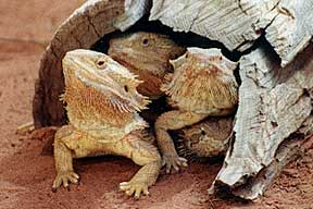 Alice Springs Reptile Centre - St Kilda Accommodation