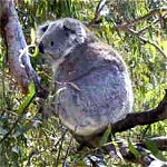Koala Conservation Centre - St Kilda Accommodation