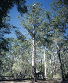 Diamond Tree Lookout Manjimup - St Kilda Accommodation