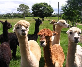 Banyandah Alpacas - St Kilda Accommodation