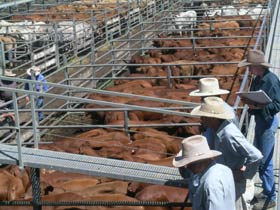 Dalrymple Sales Yards - Cattle Sales - St Kilda Accommodation