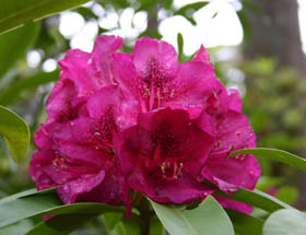Campbell Rhododendron Gardens - St Kilda Accommodation