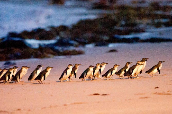 Phillip Island Penguin Parade Entry and Express Shuttle from Melbourne - St Kilda Accommodation