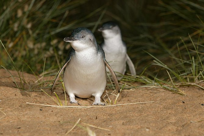 Express Expedition to Phillip Island Penguin Wildlife Encounter Evening Tour - St Kilda Accommodation
