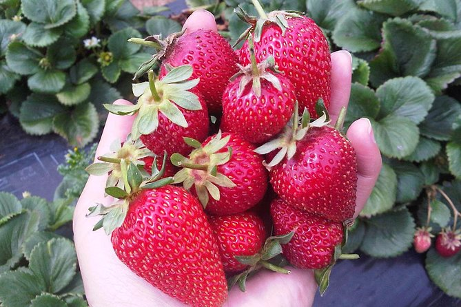 Mornington Peninsula including Strawberry Farm Day Tour from Melbourne - St Kilda Accommodation