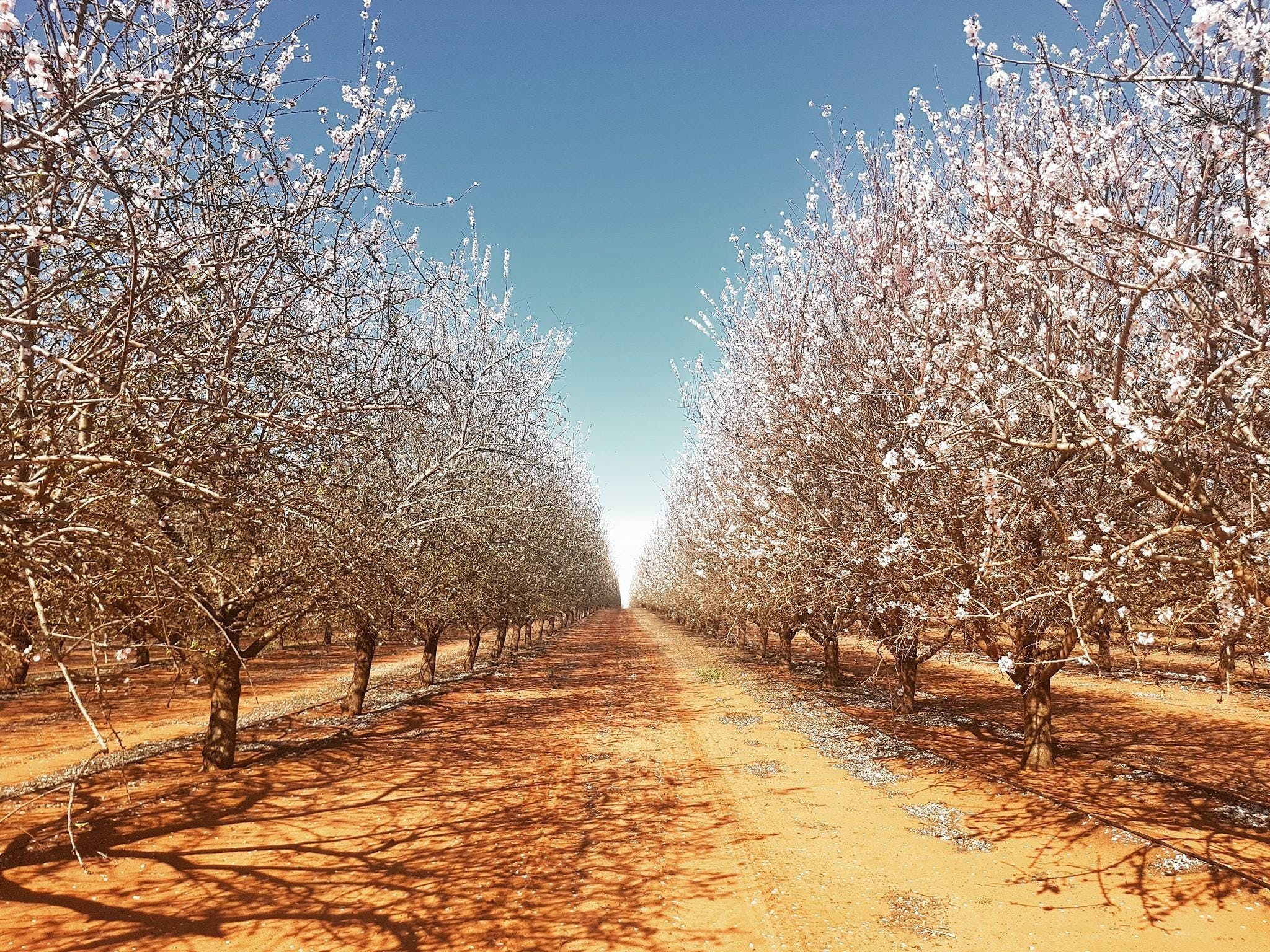 Mallee Almond Blossom Festival - St Kilda Accommodation